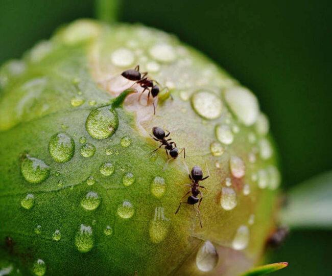 mrówki w domu